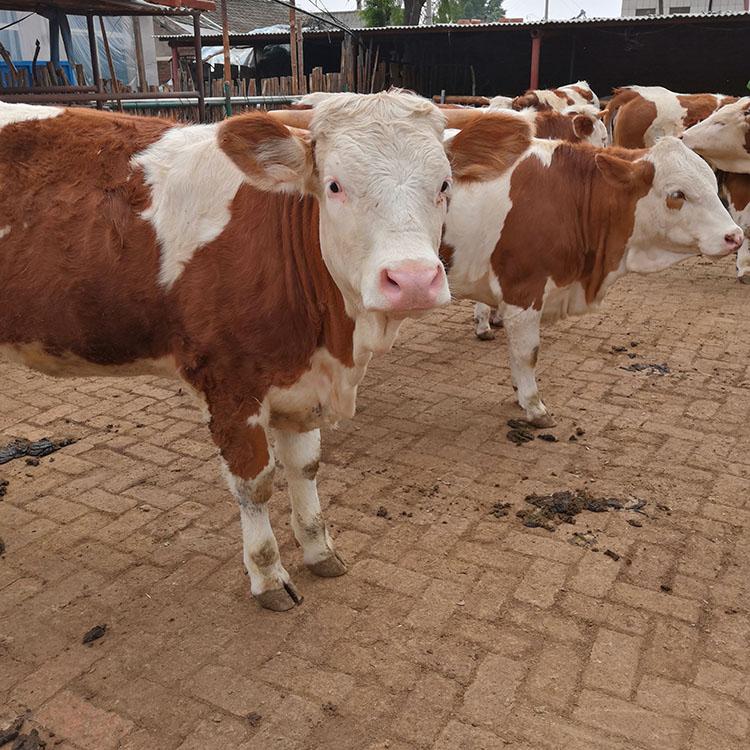 西门塔尔牛基地 西门塔尔牛厂家 西门塔尔牛价格