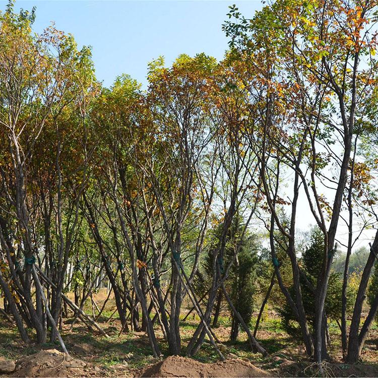 蒙古栎 丛生蒙古栎 蒙古栎品种 云杉 丛生九角枫 东北云杉