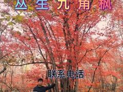九角枫形态特征