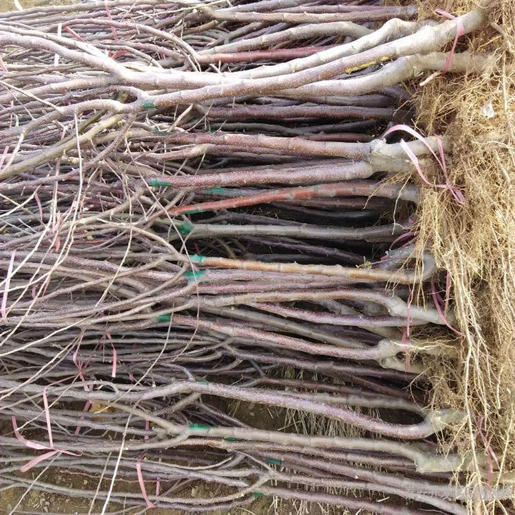 苹果苗 苹果苗厂家 苹果苗批发 高成活率苹果苗
