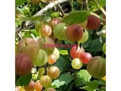双季苏蜜特红树莓高产栽培技术