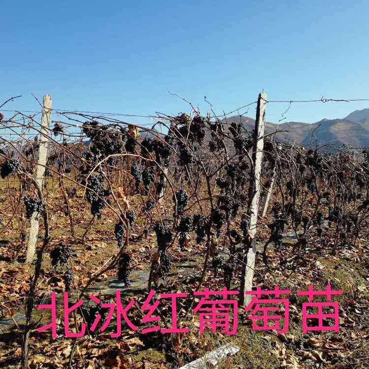 基地直发北冰红葡萄苗 高产量北冰红葡萄苗 北冰红葡萄苗厂家