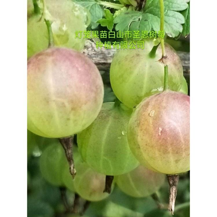 大量批发灯笼果苗 灯笼果苗种植 免费技术指导灯笼果苗厂家