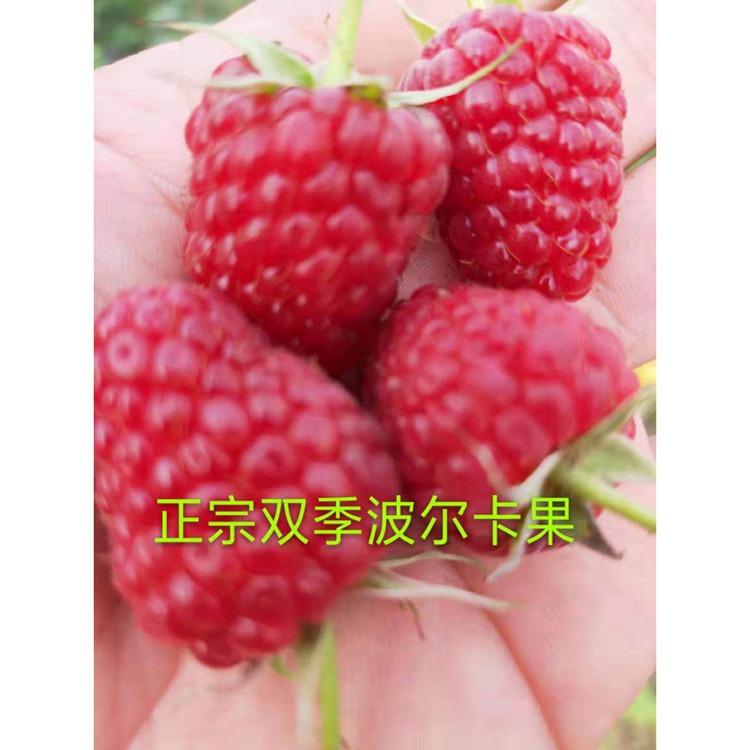 红树莓苗基地 厂家促销树莓苗 红树莓苗批发