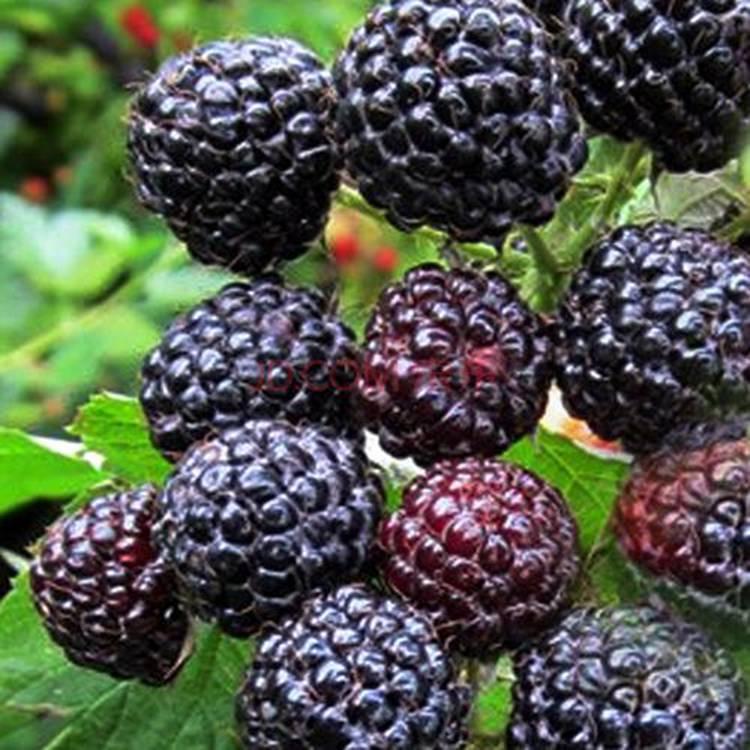 黑树莓苗 免费指导黑树莓苗 高产量黑树莓苗批发