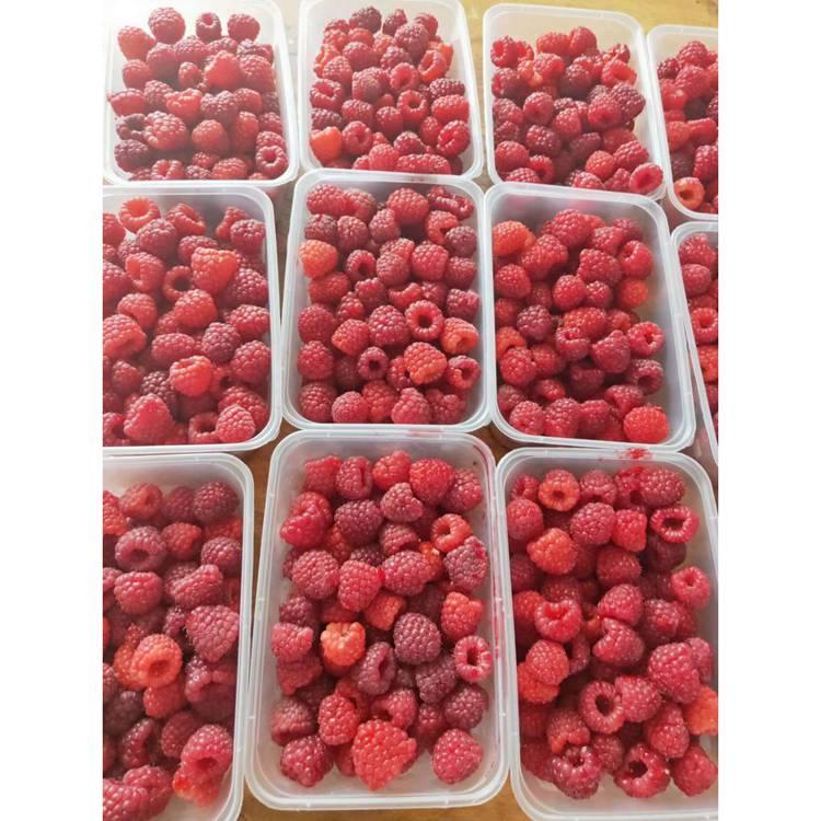 树莓苗大型生产基地 树莓苗批发价格