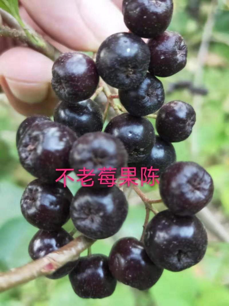 不老莓黑果花楸